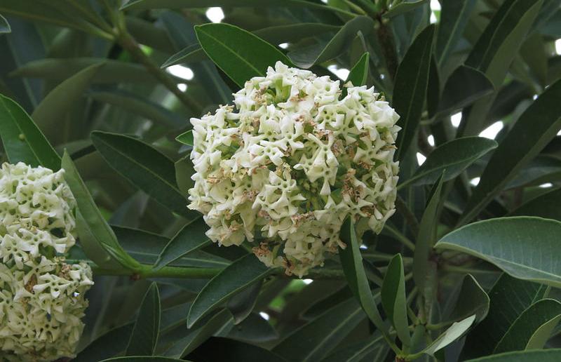 004 ต้นไม้ที่มีกลิ่นรบกวนจากดอก ผล หรือใบ